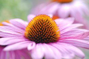 Echinacea, immune, boost immune, immune booster with Echinacea